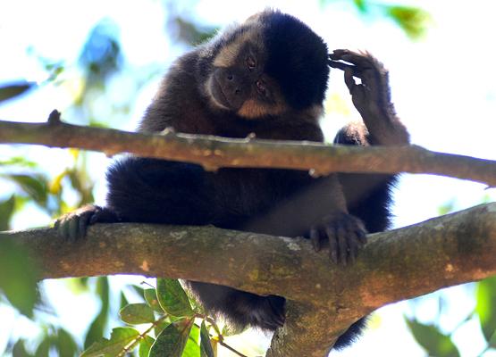 PMC - Mata Santa Genebra Macaco
