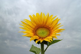 sunflower-516030__180