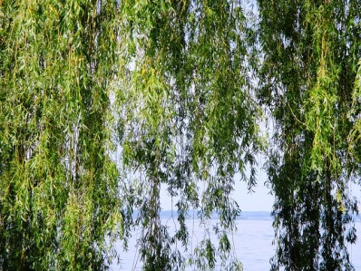 weeping-willow-363645_640